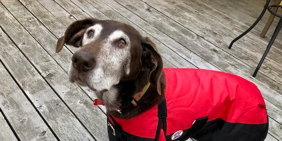 A senior dog wearing a coat