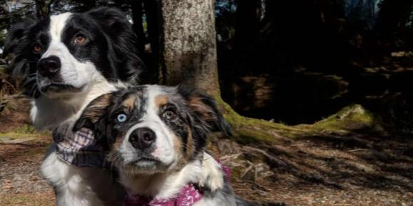 Two herding dogs in the woods